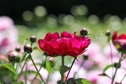 Vibrant Flowers, Pink, Magenta, Garden, Nature, Floral