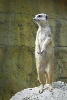 Zoo, Meerkat, Standing, Guard