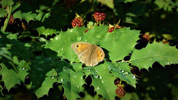Meadow Brown, Butterfly, After The Rain, Dew, Leaves