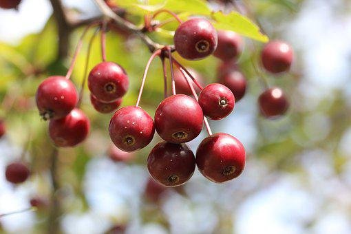Berries, Tree, Crab Apple, Red, Autumn, Nature, Branch