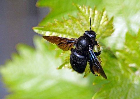 Nature, Insect, Bee Solitary, Drvodělka, Leaf Vine