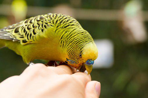Budgie, Bill, Bird, Animal, Close Up, Colorful, Green