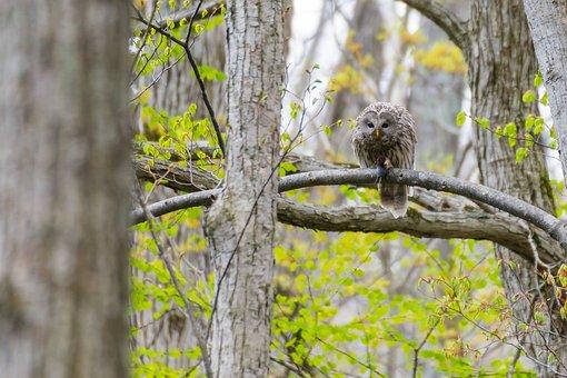 Owl, Wild Birds, Woods, The Magi, Green, Natural, Bird