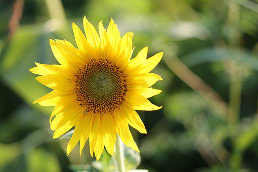 Agriculture, Sunflower, Bloom, Flower, Plant, Yellow