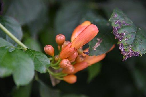 Flower, Trumpet Vine, Campsis Radicans, Orange, Blossom