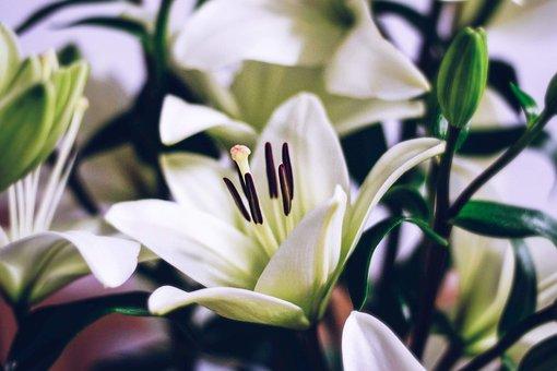 Flower, Plant, Blossom, White, Green, Lily, Prosper