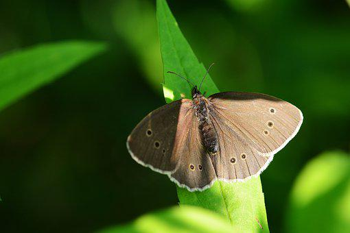 Brown Forest Bird, Butterfly, Meadow, Nature