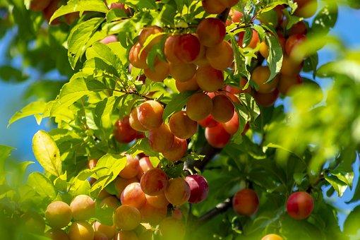 Plum, Fruit, Plum Tree, Burgundy, Fruit Tree, Juicy