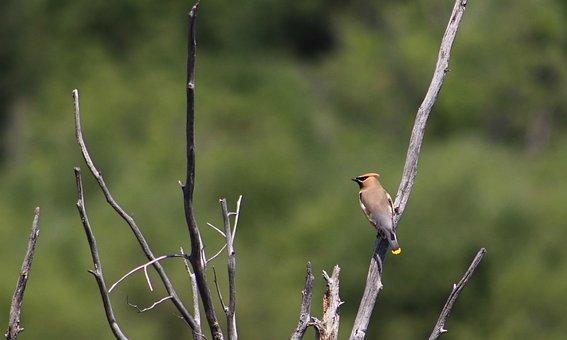 Bird, Cedar Waxwing, Waxwing, Nature, Wild, Animals