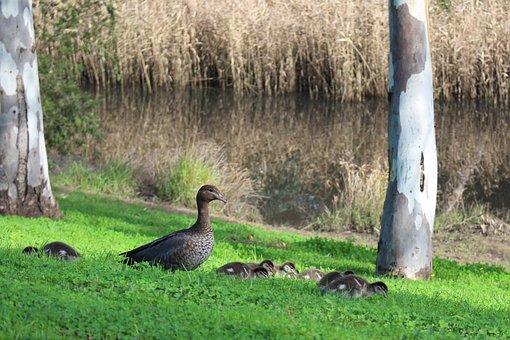 Wood Ducks, Australian, Female, Mother, Chicks, Grazing