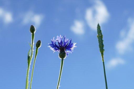 Cornflower, Cyanus Segetum, Zyane, Composites, Blossom