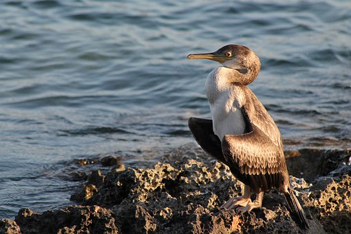 Cormorant, Dry, Wing, Bird, Sea, Waterfowl, Plumage
