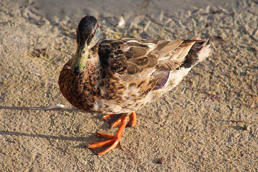Duck, Mallard, Nature, Poultry, Aquatic Animal
