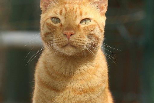 Cat, Face, Eyes, Portrait