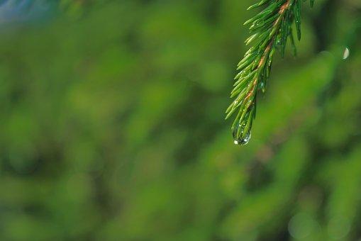 Fir, Droplet, Water, Green, Branch, Nature, Evergreen