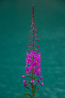 Flower, Plant, Lake, Nature, Flowers, Summer, Water