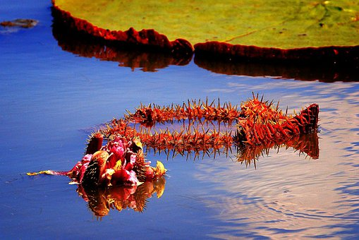 Water Lilies, Victoria, Flowers, Petal, Water, Pond