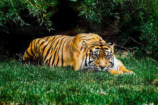Animal, Tiger, Wildlife, Grass, Tree, Green, Plant, Cat