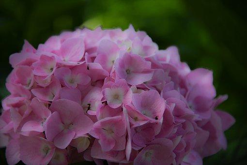 Flower, Dreamy, Pink, Hydrangea, Blossom, Bloom, Petals