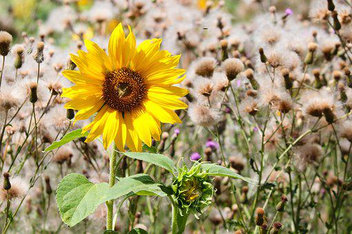 Sunflower, Individually, Wild, Yellow, Flowers, Nature