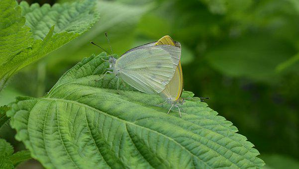 Butterfly, Mating, Insects, Breeding