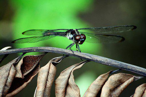 Dragonfly, Large, Brown, Eyes, Closeup, Black, Spread