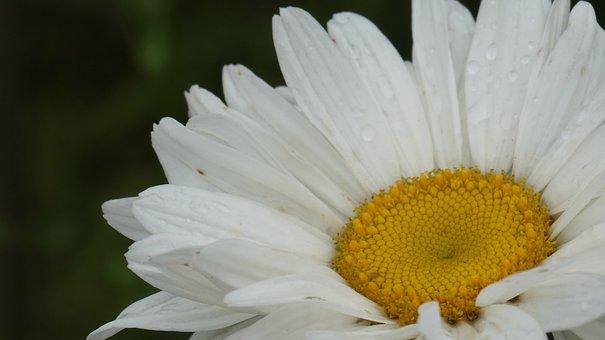Chrysanthemum, White, Plant