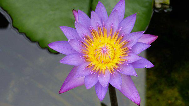Flower, Water Lily, Lake, Nature, Pond, Water