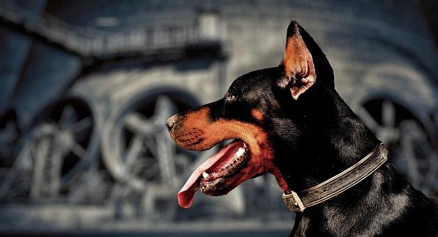 Guard Dog, Doberman, Page, Portrait, Industry, Plant