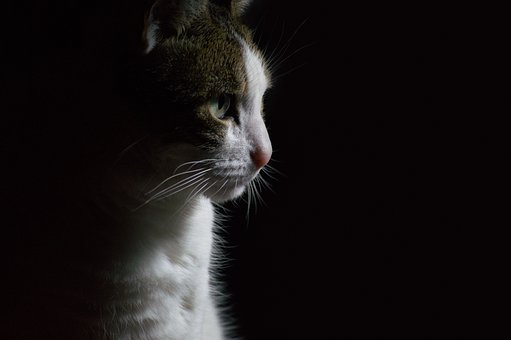 Animal, Pet, Portrait, Black, Background, Cat, Mammal