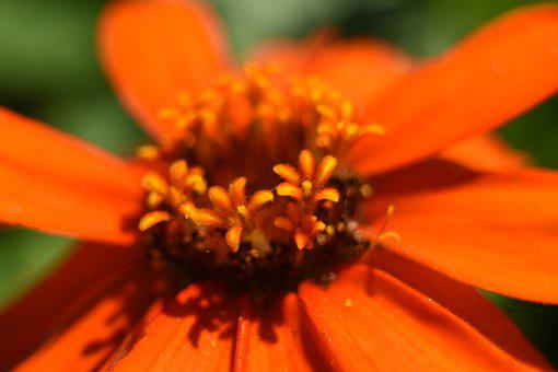 Flower, Orange, Red, Pollen, Macro, Bloom, Petals