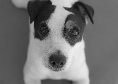Dog, Jack Russel, Cute, Animals, Jack, Russel, Animal
