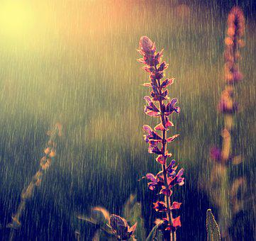 Rain, Rainy, Wildflower, Nature, Beautiful, Spring