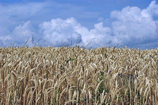 Grain, Grain Ears, Straw, Stubble, Agriculture, Harvest