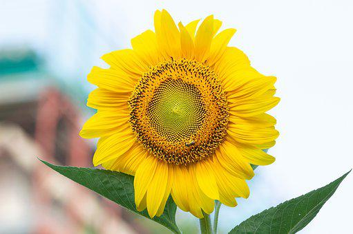 Sunflower, Summer, Flower, Flora, Beauty, Flowers