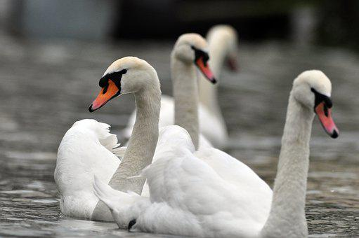 Swan, Swan Dance, Water Bird, Animal World, Swan Ballet