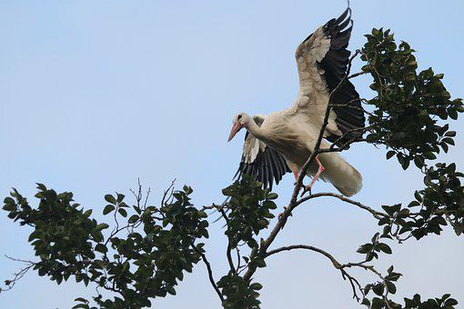 Stork, Wing, Tree, Nature, Freedom