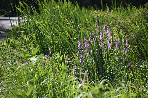 Wildflower, Purple, Plant, Flower, Cattail, Bulrush