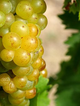 Grape, Vine, Wine, Fruit, Vineyard, Viticulture, Green