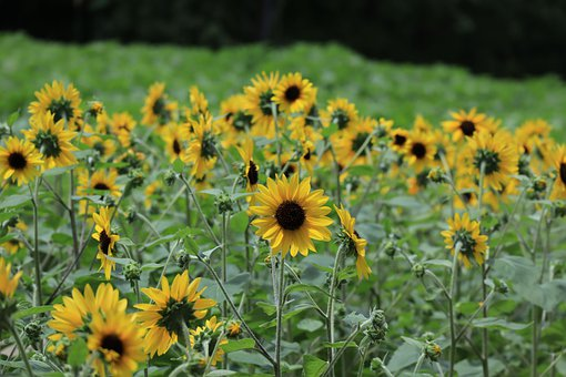Landscape, Natural, Sunflower, Summer, Flowers, Yellow