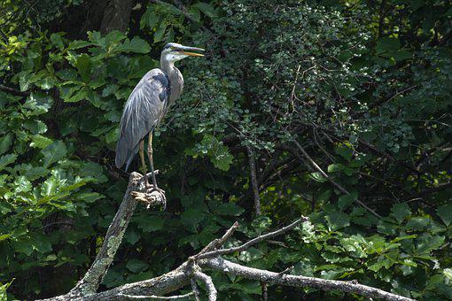 A Large Bird, Great Blue Heron, Natural Environment
