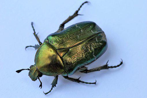 Cetonia Aurata, Rose Chafer, Insect, Animal, Green