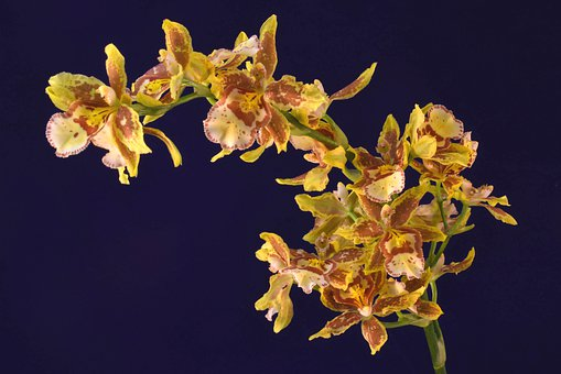 Flowers, Orchid, Oncidium Orchid, Arch Of Flowers