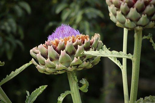 Artichoke, Blossom, Bloom, Flower Vegetables