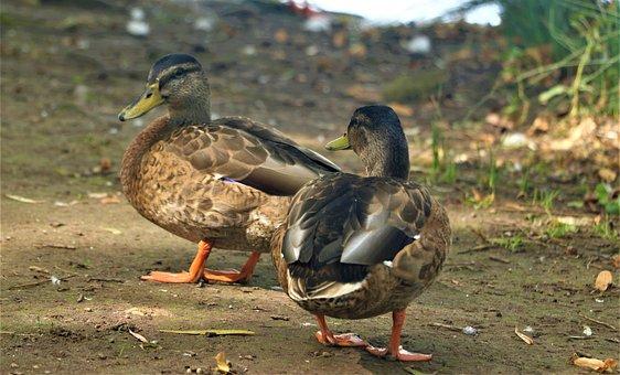 Mallard, Ducks, Sparkle, Attention, Animal, Bird