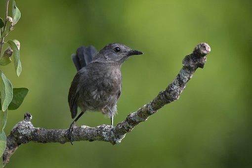Bird, Gray Catbird, Facing The Camera