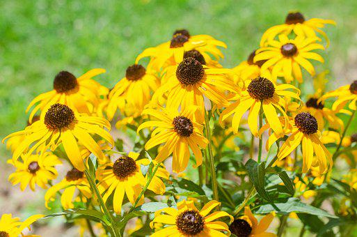 Black-eyed Susan, Yellow Flower, Yellow Daisy, Daisy