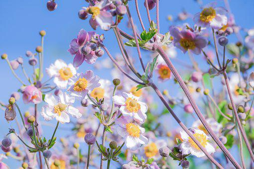 Blossom, Bloom, Pink, Flower, Summer Anemone