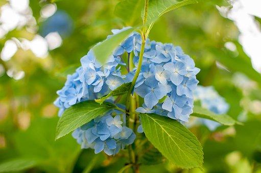 Hydrangea, Blooming, Flower, Bloom, Nature, Blossom