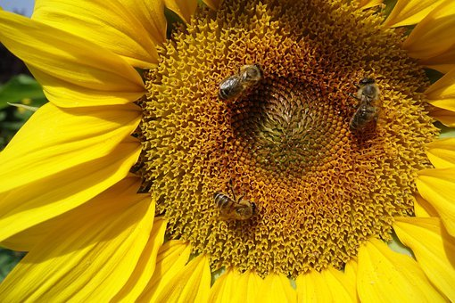 Sunflower, Summer, Bees, Yellow, Blossom, Bloom, Nature